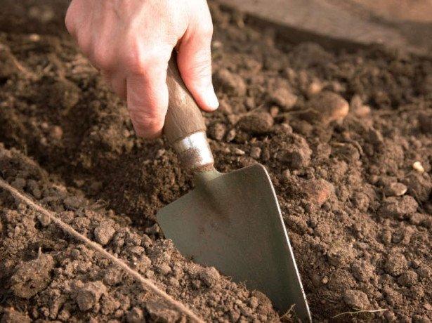 Як виростити шпинат в городі і на присадибній ділянці