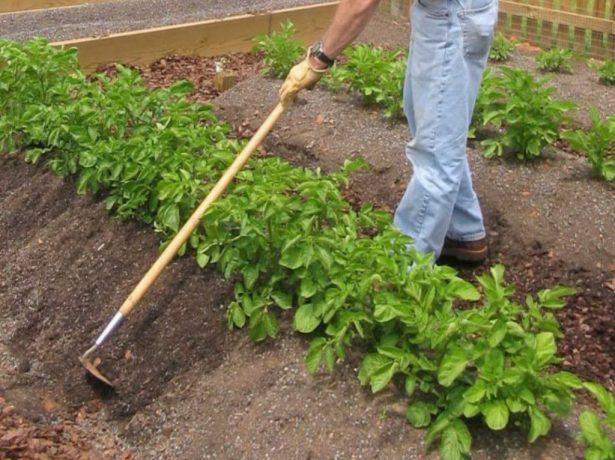Народні засоби для захисту від колорадського жука
