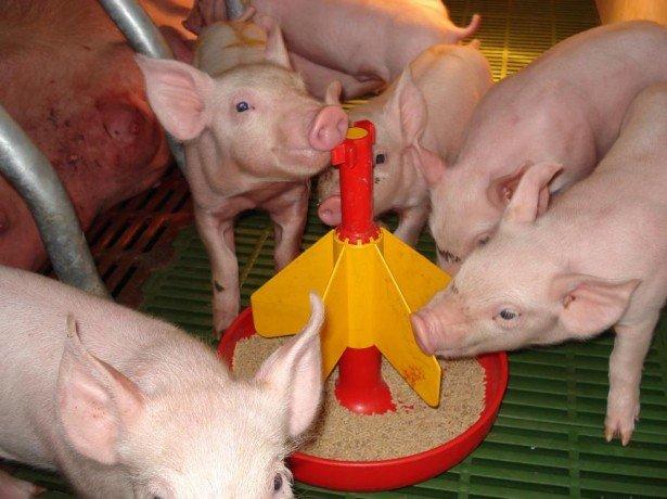 Корми свинарство-першорядне завдання