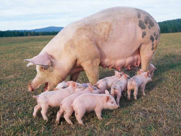 Чому так популярно свинарство і з чого варто почати?