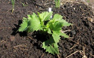 Шпинат суничний-вирощування з насіння екзотики на власній ділянці