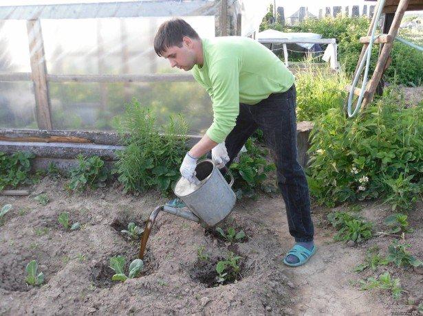 Цвітна капуста-вирощування з насіння і подальший догляд