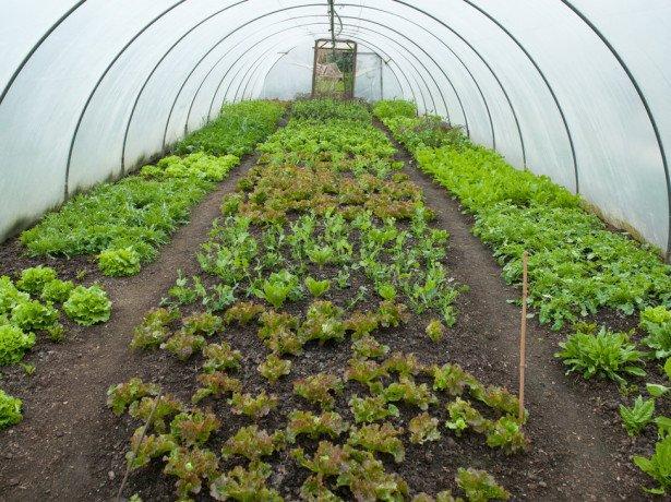 Як садити шпинат насінням-три перевірених способу
