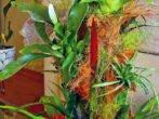Вріезія-тропічний епіфіт у вашому домі