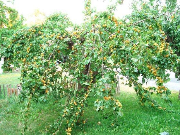 Догляд за виноградом влітку і особливості залицяння в перший рік