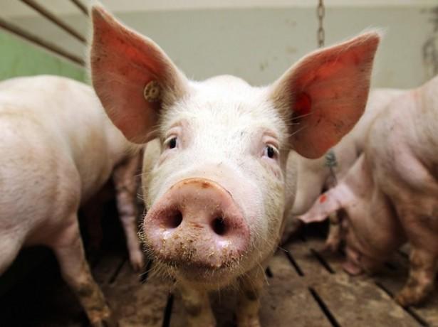 Африканська чума свиней-чим вона небезпечна, як проявляється, і чи можна вберегти тварин від зараження?