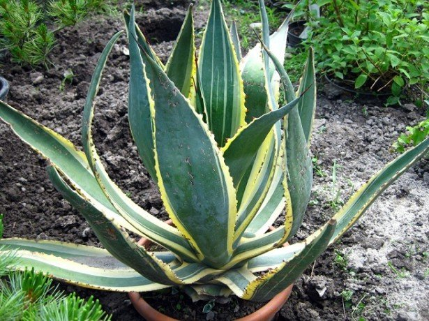 Агава-лікувальні властивості цього дивного рослини допоможуть впоратися з недугами!