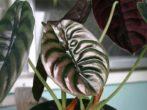 Алоказія-правила догляду за тропічною незнайомкою