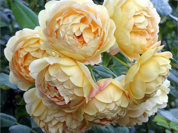 Як спонукати троянду зацвісти