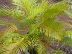 Матеріали-дерево або кераміка. Такі ємності важче, менше шансів, що пальма випадково перекинеться. Діаметр горщика кожен раз збільшують на 8-10 см.обовязкова наявність широкого дренажного отвору.