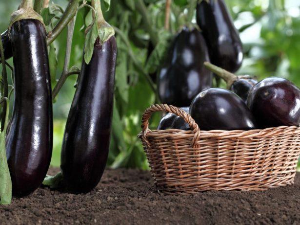 У чому причина відсутності завязі на баклажанах, вирощуваних в теплиці