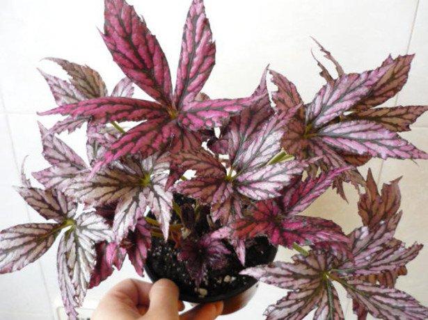 Бегонія ампельна-секрети успішного вирощування