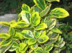 Кімнатний бересклет: посадка і догляд за рослиною з чоловічим характером