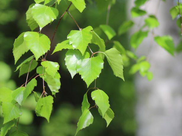 Міжряддя кожен раз після дощу. Протягом сезону 2-3 рази проводять високе підгортання. Досвідчені садівники рекомендують за 1,5-2 тижні до передбачуваної збирання врожаю зрізати картопляну бадилля. У разі масової навали шкідника для обприскування листя застосовують будь-які інсектициди широкого спектру дії-інта-вир, танрек, фюрі, моспілан, актеллік. важка артилерія -10% - й розчин карбофосу. Капустянка