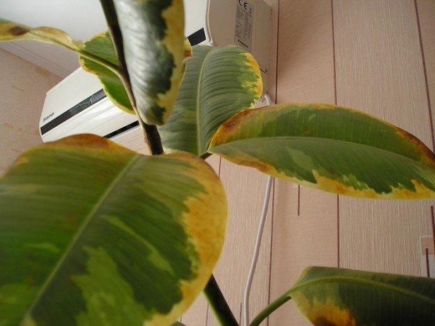Найнебезпечніші хвороби лимона в домашніх умовах