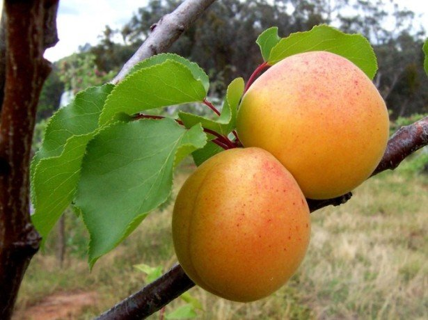 Існуючі хвороби абрикоса, профілактика і способи їх лікування