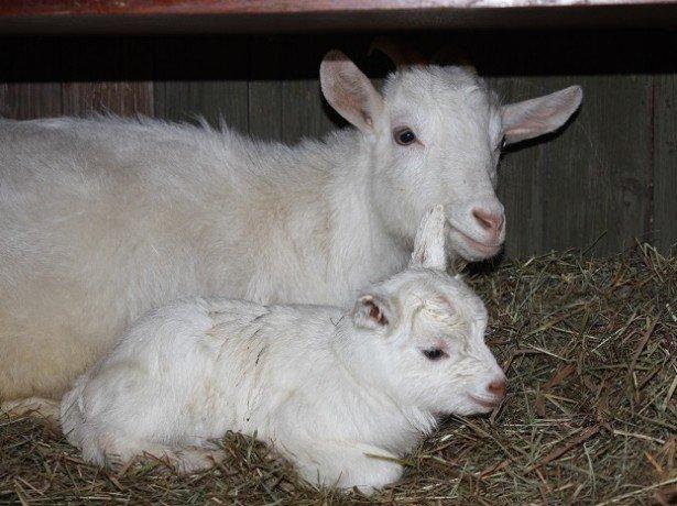 Більше молока з першої ж лактації – як роздоїти козу правильно