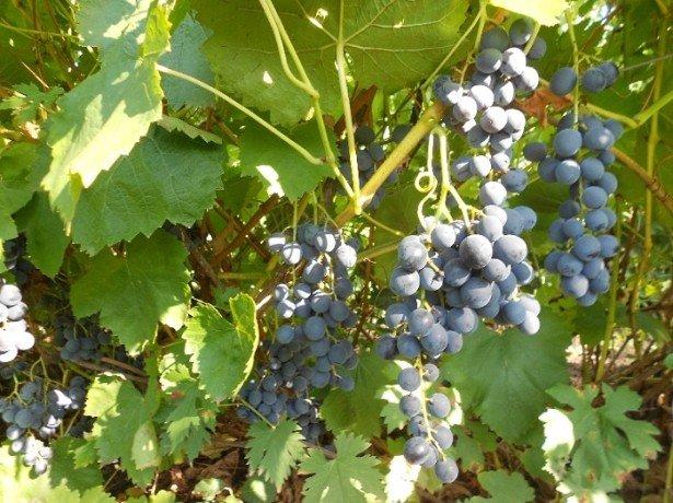 Боротьба з осами на винограді-знищення шкідників