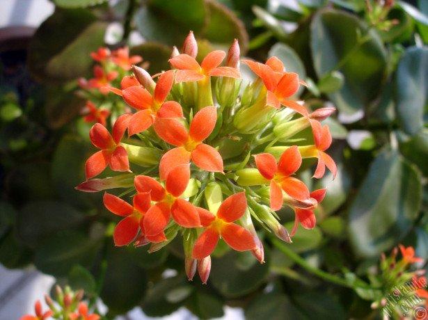 Чому каланхое не цвіте і росте вгору незалежно від догляду