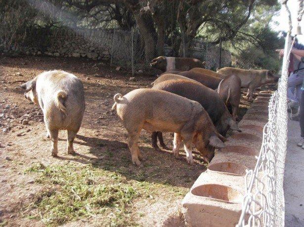 Чим годувати свиней і як правильно скласти раціон