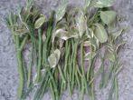 Педілантус в домашніх умовах-все про посадку, розмноження, догляд за квіткою