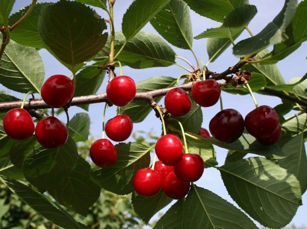 Черевишня, вишнеслива і церападус-дивовижні гібриди вишні
