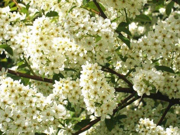 Цвітіння.обприскування дерев препаратом інта-вир. Шкідливі комахи на фото