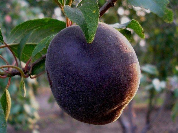 Дивовижний абрикос чорний принц і його чорнобокі побратими