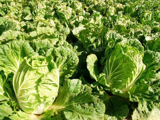 Капуста пекінська-вирощування і догляд за першими весняними овочами