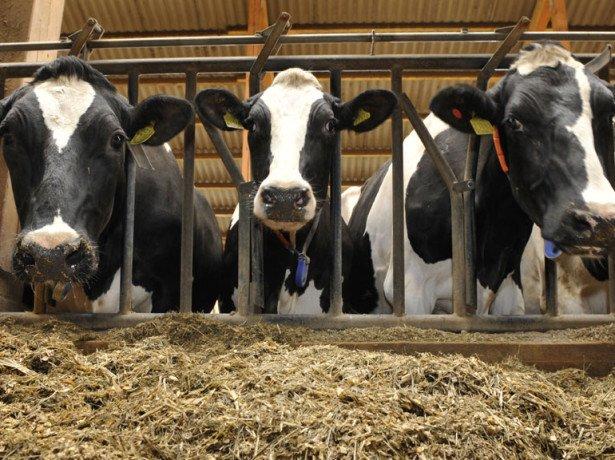 Скільки живе корова-що впливає на тривалість її життя?
