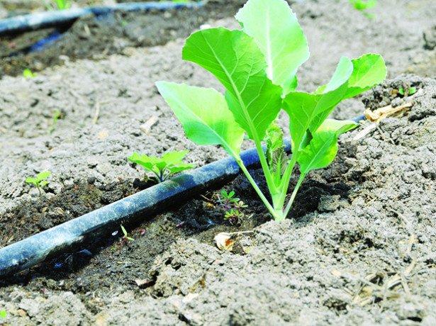 Як сушити горох на насіння-заготівля посівного матеріалу