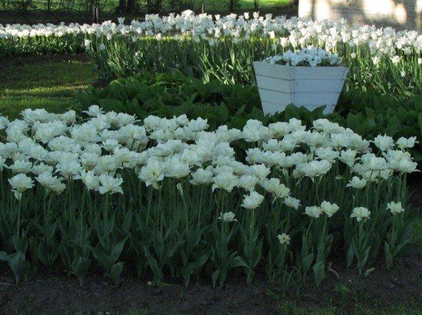 Кольорова палітра тюльпанів-від традиційних червоних до загадкових чорних тюльпанів