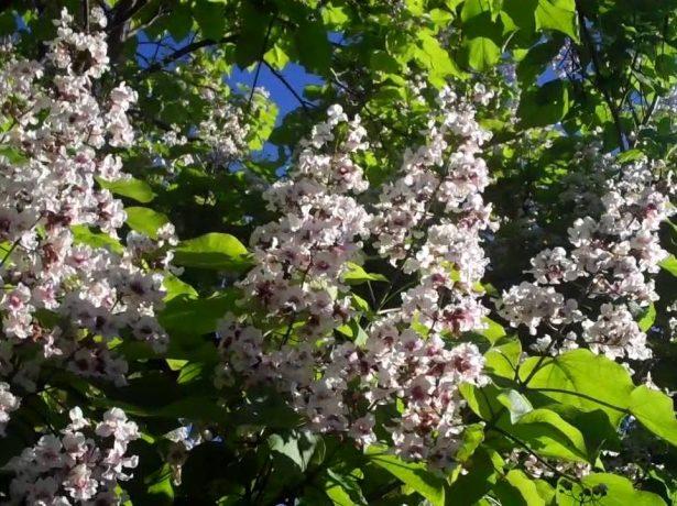 Чудова катальпа: вчимося вирощувати південну красуню