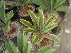 Сагова пальма-гість з мезозойської ери у вашому домі