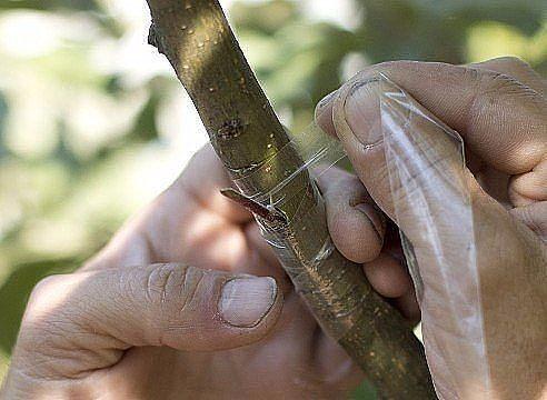 Копулировка яблуні: весняне щеплення живців