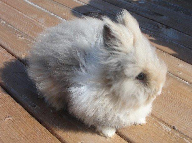 Як забезпечити гідне існування ангорському кролику або представнику іншої породи