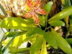 Екзотична краса: все про вирощування ехмеї