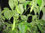 Капуста з розсади: як успішно висаджувати її у відкритий грунт