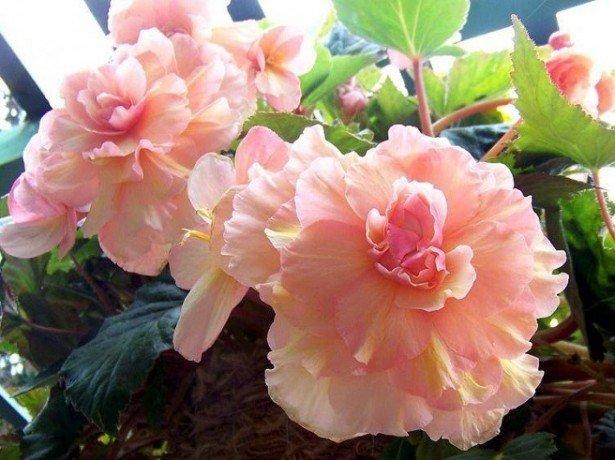 Як зберегти тюльпани після зрізання, щоб вони не вянули якомога довше