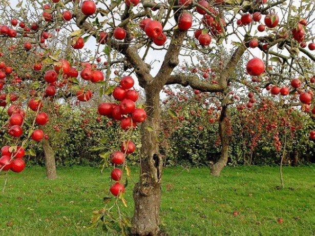 Формування крони яблуні-основні і найбільш поширені форми крон