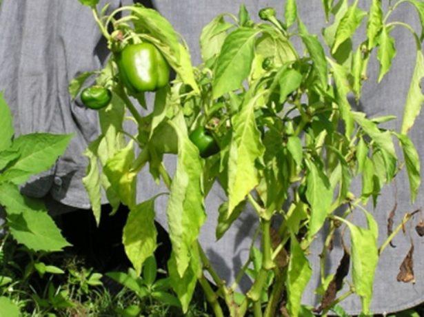 Чому хворіє і не росте розсада перців?