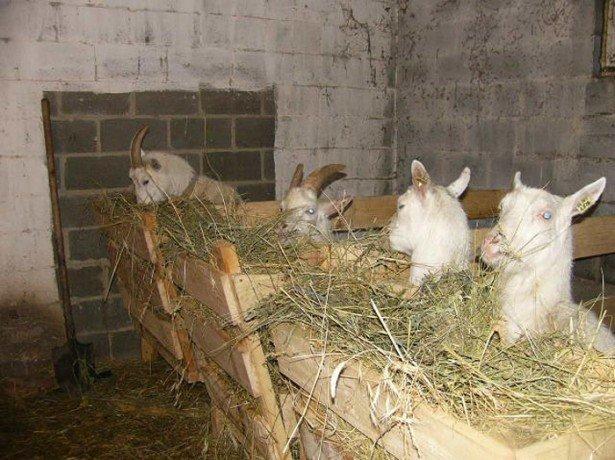 Де тримати кіз і чим годувати в домашніх умовах?