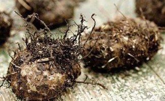 Почему каланхоэ не цветет и растет вверх независимо от ухода