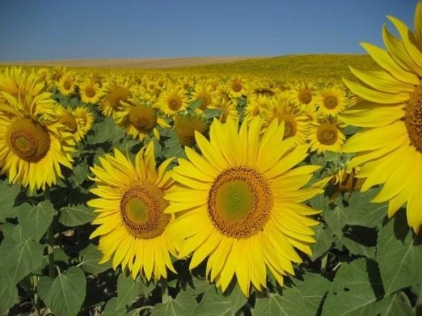 Гібриди соняшнику з найкращими показниками врожайності та стійкості до хвороб