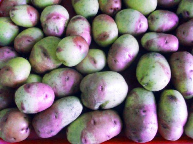 Вовремяпроведенная профілактика. вирощуйте картоплю на колишньому місці тільки через 2-3 роки. дотримуйтесь сівозміни. висаджуйте перед посадкою картоплі сидерати — жито, пшеницю, гірчицю, конюшина. мідь, марганець і бор значно знижують ризик захворювання. не забувайте про поливи. Парша добре розвивається на сухихпочвах.дротяники виявити личинку жукащелкуна складно.дротяники ховаються під землею. Він вигризає вклубнях і коренях ходи, через що рослина гине. Діяльність шкідника негативно позначається на якості картоплі. для боротьби зі шкідником застосовують препарати актара,грім, дохлокс або землін. можна в кожну лунку при посадці покласти кількагранул суперфосфату, попередньо обробивши егоспеціальним складом: 25 мл актеллика розвести в 80мл води і 200 мл ацетону. проводьте осінню і весняну перекопування ділянки. боріться з бурянами. запашні трави, висаджені вздовж картопляної грядки відлякають жукащелкуна. обовязково приводьте рівень кислотності грунту в норму. Дротяники любить кислі грунти.медведкавред приносить не толькомедведка, але і її личинка.шкідник перегризаетстебель картоплі, разриваеткорни, сильно повреждаетклубни. Кущі гинуть, коренеплоди стають придатними для зберігання. варене зерно обробляють протягом 12 годин препаратом-58. Потім насипають зерна влунки з картоплею. між картопляними рядами в неглибокі борозенки наповнюють гранулами одного з препаратів: медветокс, грім або грізлі.канавки засипаються невеликим шаром землі і рясно поливаються. до настання холодів викопайте яму до півметра і наповніть її кінським гноєм, перемішаним з соломою. Коли прийде мороз, ямураскопайте і розкидайте гній по землі. На морозі капустянка загине. висаджуйте на ділянці квіти і сидерати. Льон, полин і гірчиця здатні відлякати шкідника. обробляйте посадковий матеріал актарою, престижем або шедевром. Як розпізнати хвороби і шкідників-фотогалерея