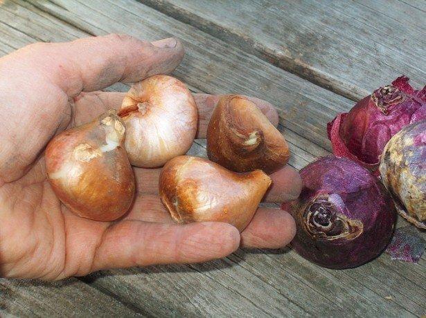 Як зберігати цибулини тюльпанів, і яке місце для цього краще вибрати
