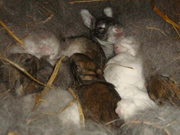 Як визначити вагітність кролиці, підготувати для неї клітку і допомогти в пологах