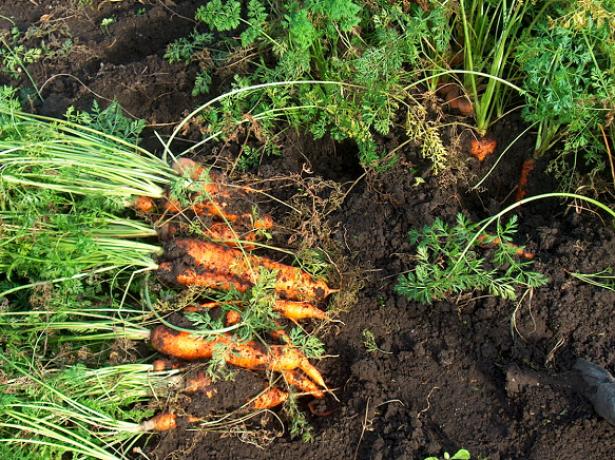 Як визначити оптимальні терміни, коли викопувати морква?