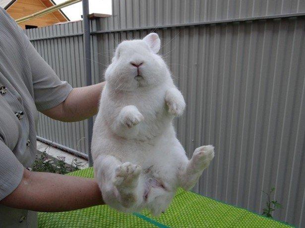 Як визначити стать кролика початківцю кролівникові