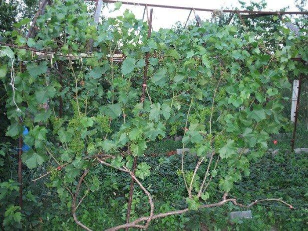 Правильна підрізування винограду або як змусити кущ приносити великі врожаї